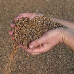 Экспорт российского зерна возрос на треть